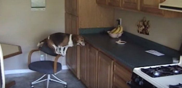 Вот на что способны собаки ради лакомства. Без смеха на них смотреть невозможно!