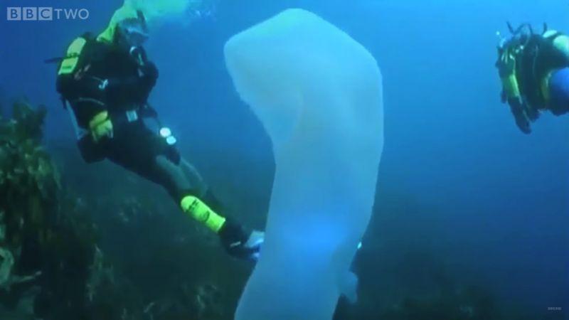Пиросомы – странные обитатели подводного мира