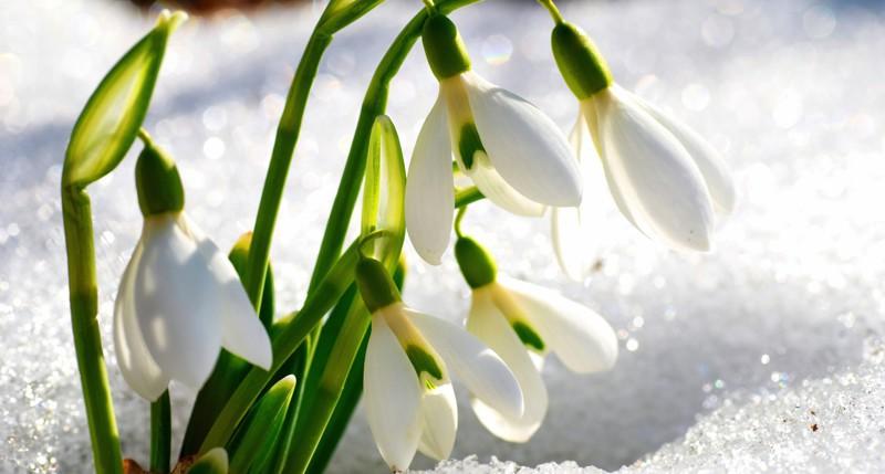 Весна и первые подснежники они такие разные