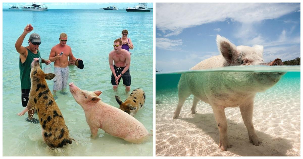 Плавающие свиньи на Багамах стали очередной жертвой человеческого идиотизма