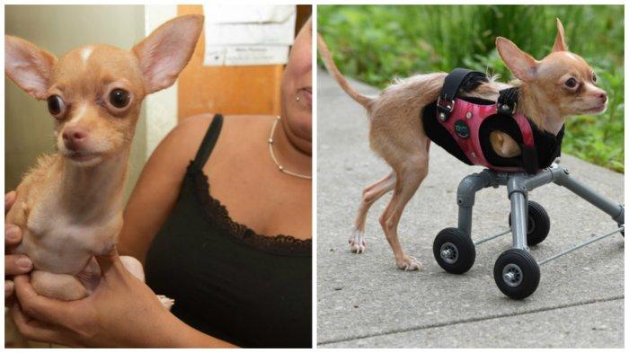 Для собаки изготовили специальный протез и теперь она снова может ходить