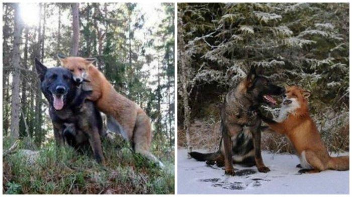 Пес стал часто бегать в лес, чтобы встречаться с другом