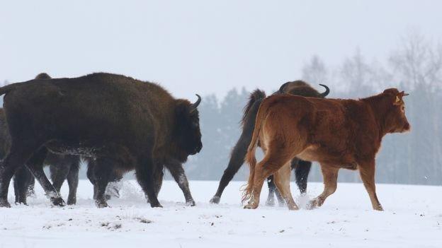 Сбежавшую польскую корову охраняют дикие зубры из Беловежской пущи