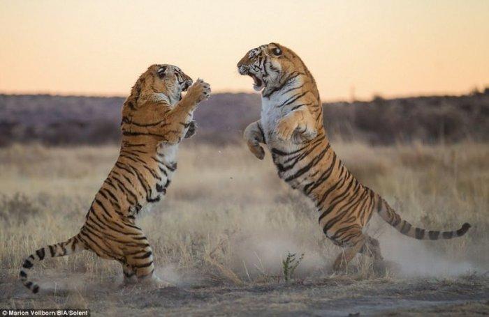 Впечатляющие фото драки двух тигриц за территорию