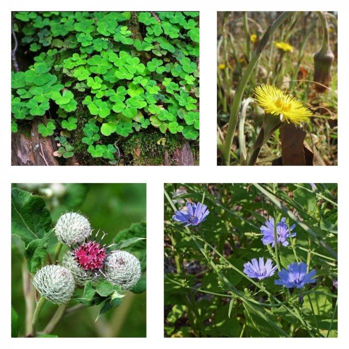 Наша трын-трава: что можно, а что нельзя есть из дикорастущей зелени