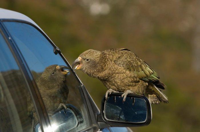 Попугаи-хулиганы устроили дебош на трассе в Новой Зеландии (видео)