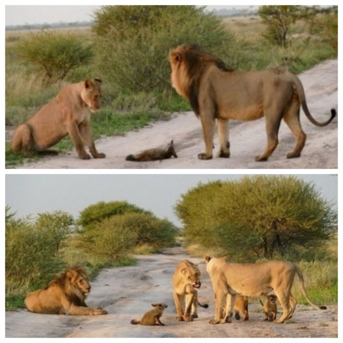Разъяренная львица встала на защиту раненого лисенка