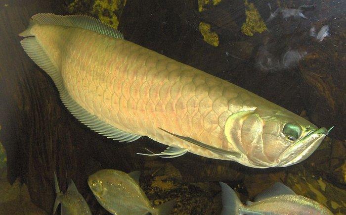 Золотая рыбка подарила хозяину кучу мальков