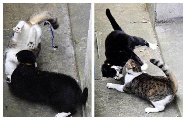 Битва королевских котов: кто победил - кот главы МИД Британии или кот премьер-министра?