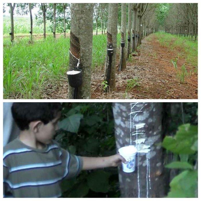 Дерево, которое дает молоко
