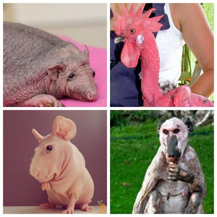 Абсолютно лысые животные, которым не нужен шампунь