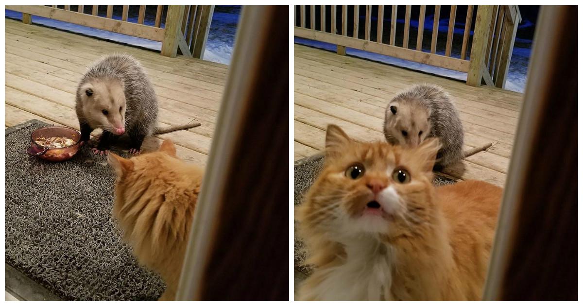 Забавная реакция домашнего кота на опоссума-воришку