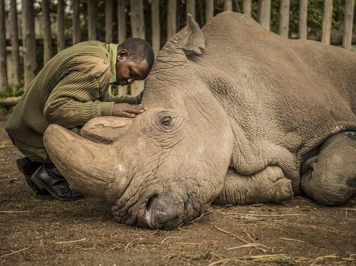 Пронзительный пост журналиста о последнем северном носороге