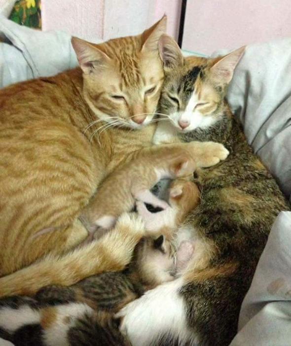 Самый чуткий кот в мире ухаживает за кошкой после родов