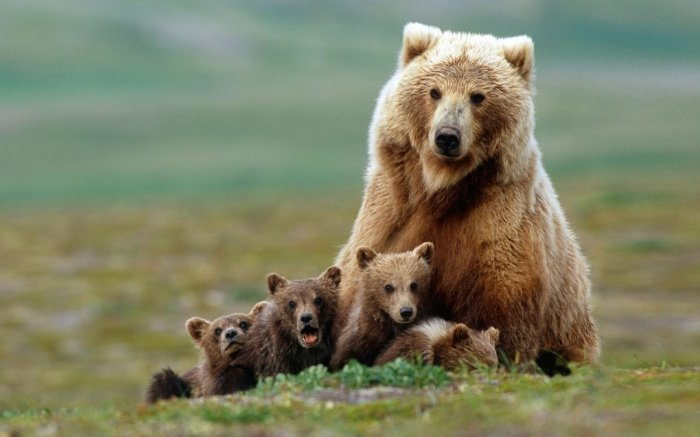 Сочинские туристы сфотографировали дикую медведицу с медвежатами на горнолыжной трассе