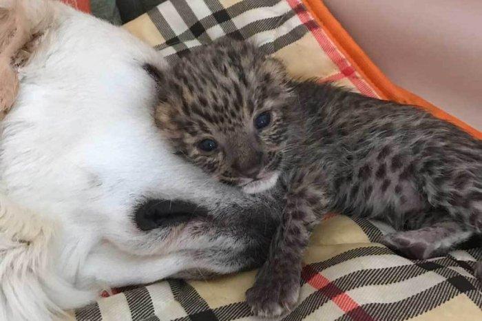 Во Владивостоке ретривер выкормила брошенного детеныша леопарда