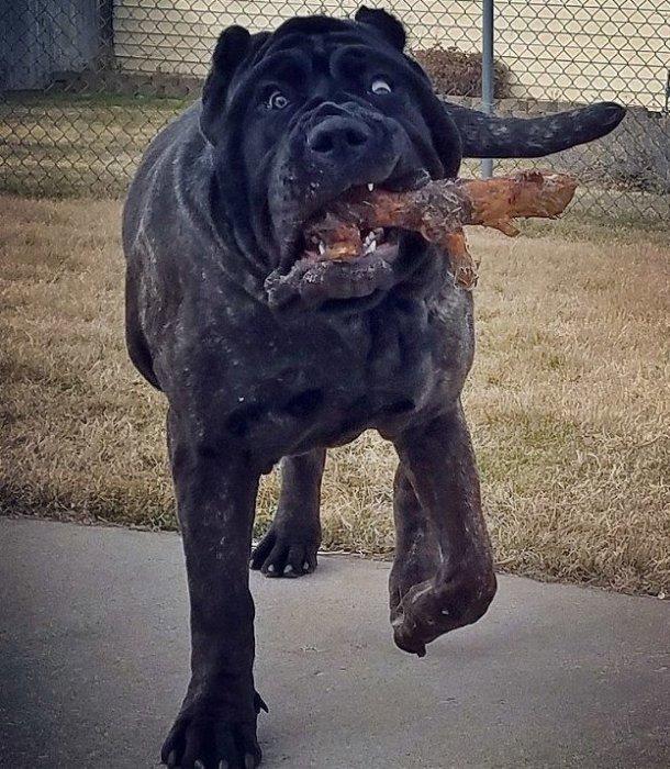 """80-килограммовый """"малыш"""": где живет самый большой щенок в мире"""
