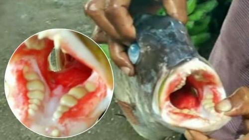 В Индонезии поймали рыбу-чудовище с человеческими зубами
