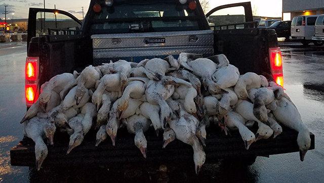 На Айдахо пролился жуткий дождь из мертвых гусей