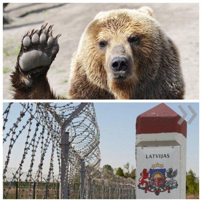 Медведь-эмигрант снес ограждение на латвийской границе, пытаясь сбежать в Россию