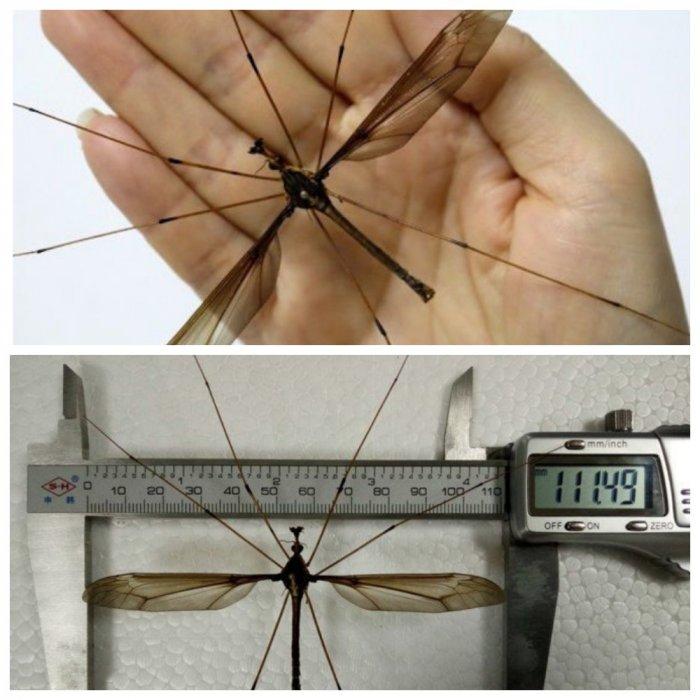 В Китае поймали гигантского комара-рекордсмена