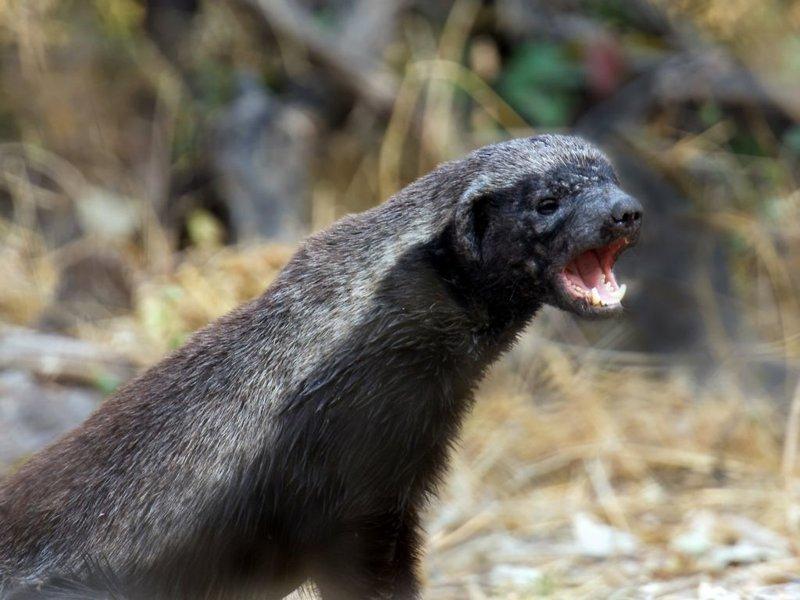 Чистая, незамутненная ярость природы: самые страшные звериные оскалы