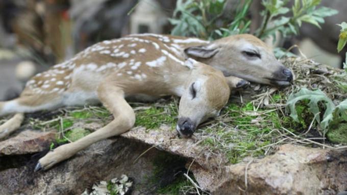 Феномен: американские ученые исследовали двухголового оленёнка