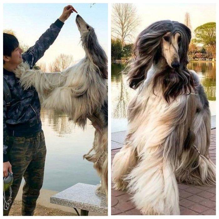 Все ради шерсти любимой: китаец тратит $800 в месяц на уход за собакой
