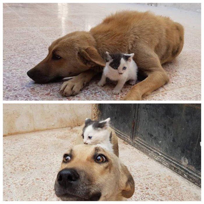 В Сирии собака потеряла щенков и стала мамой осиротевшему котенку