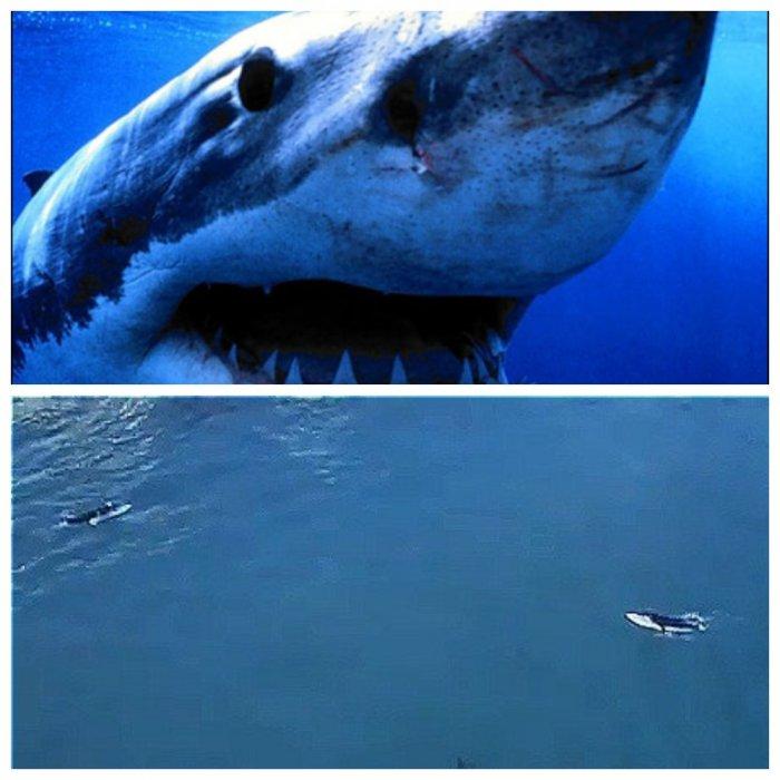 Монструозная акула-людоед едва не сожрала австралийских серферов
