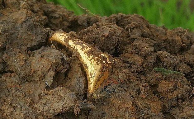 Везучий кладоискатель нашел кольцо XVI века из чистого золота